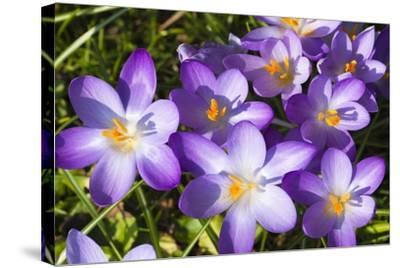 Crocus Flowers-Frank Lukasseck-Stretched Canvas Print