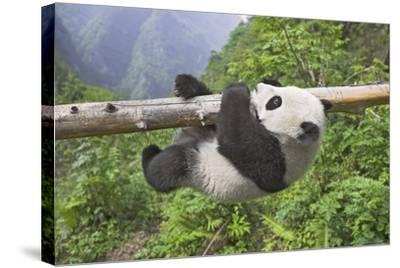 Giant Panda Cub Hanging from Tree Trunk-Frank Lukasseck-Stretched Canvas Print