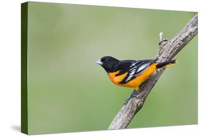 Baltimore Oriole (Icterus Galbula), during Spring Migration, Rondeau Provincial Park, Ontario, Cana-Ethan Meleg-Stretched Canvas Print