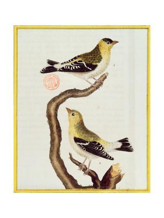Pair of Siskins, from 'Histoire Naturelle Des Oiseaux'-Francois Nicolas Martinet-Framed Giclee Print