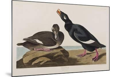 Illustration from 'Birds of America', 1827-38-John James Audubon-Mounted Giclee Print