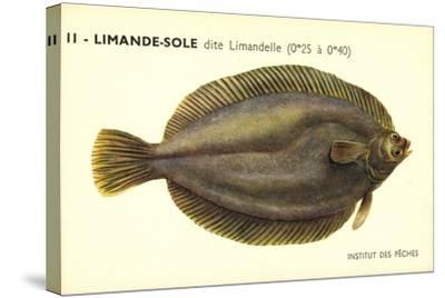 Künstler Fische, Institut Des Peches, Limande Sole Dite Limandelle, Flunder--Stretched Canvas Print