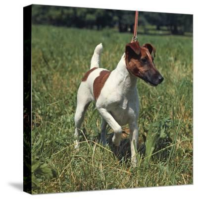 German Hunting Dog--Stretched Canvas Print