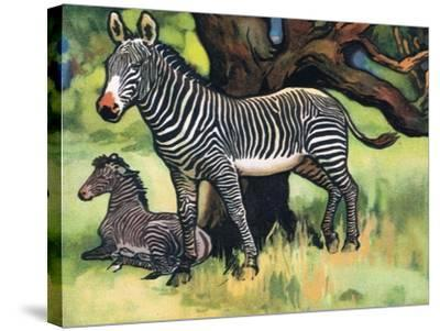 Zebras, Illustration from 'Pads, Paws and Claws', 1924--Stretched Canvas Print