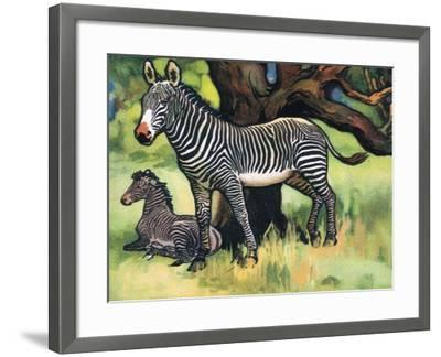 Zebras, Illustration from 'Pads, Paws and Claws', 1924--Framed Giclee Print