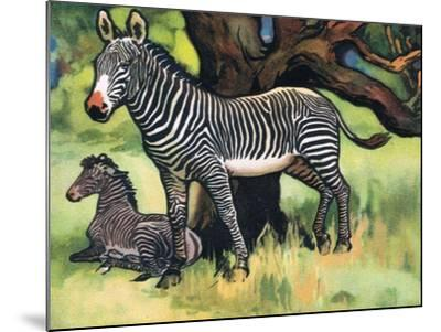 Zebras, Illustration from 'Pads, Paws and Claws', 1924--Mounted Giclee Print