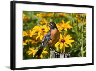 American Robin on Fence Post in Garden, Marion, Illinois, Usa-Richard ans Susan Day-Framed Photographic Print
