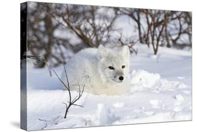 Arctic Fox in Snow, Churchill Wildlife Area, Manitoba, Canada-Richard ans Susan Day-Stretched Canvas Print