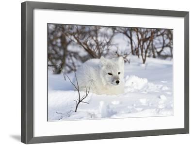 Arctic Fox in Snow, Churchill Wildlife Area, Manitoba, Canada-Richard ans Susan Day-Framed Photographic Print