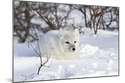 Arctic Fox in Snow, Churchill Wildlife Area, Manitoba, Canada-Richard ans Susan Day-Mounted Photographic Print