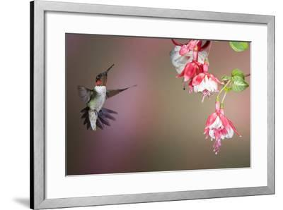 Ruby-Throated Hummingbird Male at Fuschia, Marion, Illinois, Usa-Richard ans Susan Day-Framed Photographic Print