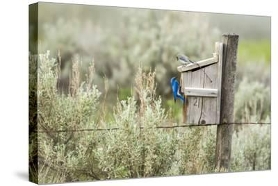 Breeding Pair of Mountain Bluebirds, Mission Valley, Montana, Usa-Chuck Haney-Stretched Canvas Print