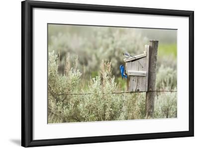 Breeding Pair of Mountain Bluebirds, Mission Valley, Montana, Usa-Chuck Haney-Framed Photographic Print