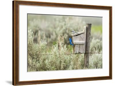 Breeding Pair of Mountain Bluebirds, Mission Valley, Montana, Usa-Chuck Haney-Framed Photographic Print