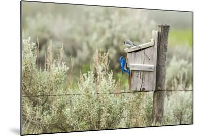 Breeding Pair of Mountain Bluebirds, Mission Valley, Montana, Usa-Chuck Haney-Mounted Photographic Print
