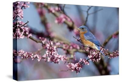 Eastern Bluebird Male in Eastern Redbud, Marion, Illinois, Usa-Richard ans Susan Day-Stretched Canvas Print