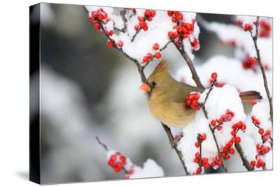 Northern Cardinal in Common Winterberry, Marion, Illinois, Usa-Richard ans Susan Day-Stretched Canvas Print