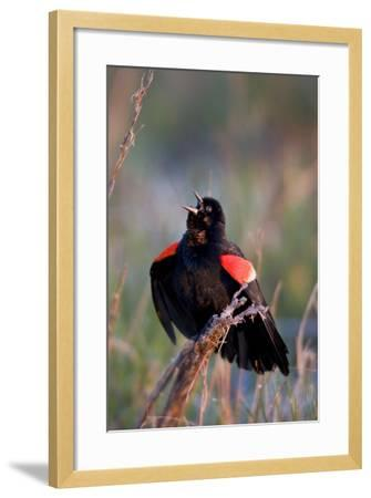 Red-Winged Blackbird Male Singing in Wetland Marion, Illinois, Usa-Richard ans Susan Day-Framed Photographic Print