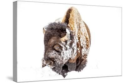 Bison Bull Foraging in Deep Snow in Yellowstone NP, WYoming, Usa-Chuck Haney-Stretched Canvas Print
