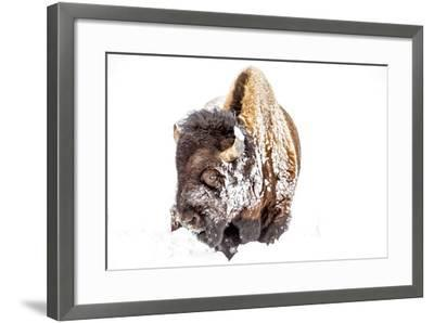 Bison Bull Foraging in Deep Snow in Yellowstone NP, WYoming, Usa-Chuck Haney-Framed Photographic Print