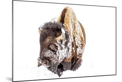 Bison Bull Foraging in Deep Snow in Yellowstone NP, WYoming, Usa-Chuck Haney-Mounted Photographic Print