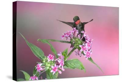 Ruby-Throated Hummingbird Male on Pink Pentas. Marion, Illinois, Usa-Richard ans Susan Day-Stretched Canvas Print