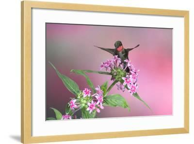 Ruby-Throated Hummingbird Male on Pink Pentas. Marion, Illinois, Usa-Richard ans Susan Day-Framed Photographic Print
