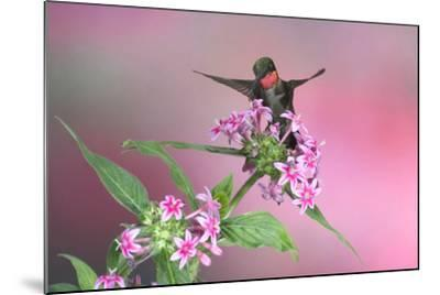 Ruby-Throated Hummingbird Male on Pink Pentas. Marion, Illinois, Usa-Richard ans Susan Day-Mounted Photographic Print