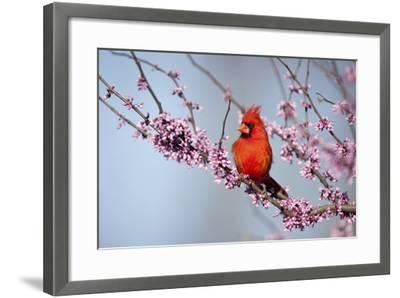 Northern Cardinal Male in Eastern Redbud, Marion, Illinois, Usa-Richard ans Susan Day-Framed Photographic Print