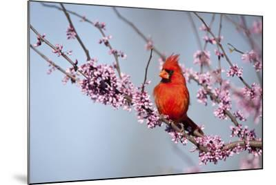 Northern Cardinal Male in Eastern Redbud, Marion, Illinois, Usa-Richard ans Susan Day-Mounted Photographic Print