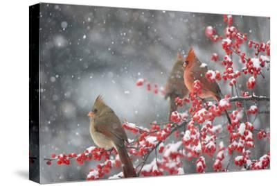 Northern Cardinals in Common Winterberry, Marion, Illinois, Usa-Richard ans Susan Day-Stretched Canvas Print
