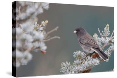 Dark-Eyed Junco in Spruce Tree in Winter Marion, Illinois, Usa-Richard ans Susan Day-Stretched Canvas Print