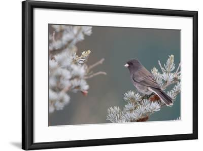 Dark-Eyed Junco in Spruce Tree in Winter Marion, Illinois, Usa-Richard ans Susan Day-Framed Photographic Print