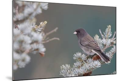 Dark-Eyed Junco in Spruce Tree in Winter Marion, Illinois, Usa-Richard ans Susan Day-Mounted Photographic Print