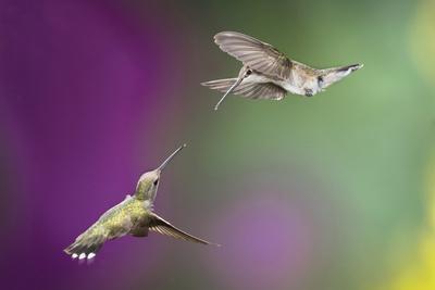 USA, Arizona, Madera Canyon. Two Female Hummingbirds in Flight-Jaynes Gallery-Framed Photographic Print