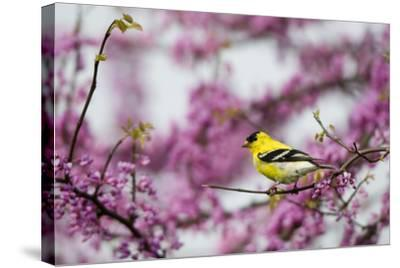 American Goldfinch Male in Eastern Redbud Tree. Marion, Illinois, Usa-Richard ans Susan Day-Stretched Canvas Print
