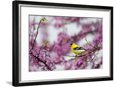 American Goldfinch Male in Eastern Redbud Tree. Marion, Illinois, Usa-Richard ans Susan Day-Framed Photographic Print
