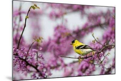 American Goldfinch Male in Eastern Redbud Tree. Marion, Illinois, Usa-Richard ans Susan Day-Mounted Photographic Print