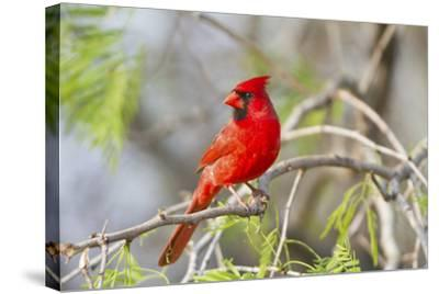 Northern Cardinal Male Starr, Texas, Usa-Richard ans Susan Day-Stretched Canvas Print