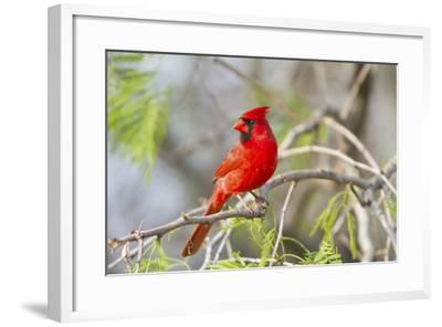 Northern Cardinal Male Starr, Texas, Usa-Richard ans Susan Day-Framed Photographic Print