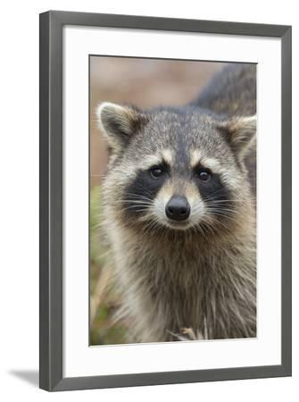 Raccoon, Procyon Lotor, Florida, Usa-Maresa Pryor-Framed Photographic Print