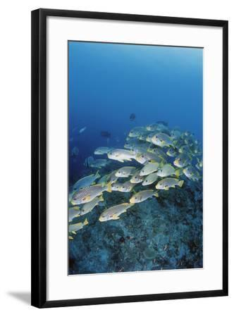 Group of Fish Swimming in Sea-Michele Westmorland-Framed Photographic Print