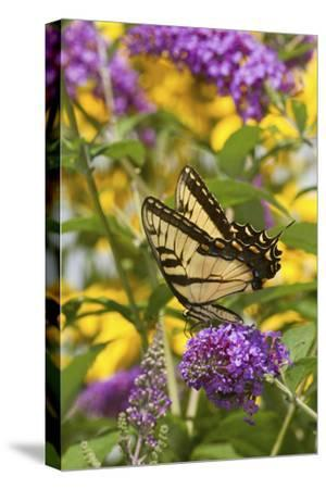 Eastern Tiger Swallowtail Butterfly on Butterfly Bush, Marion Co., Il-Richard ans Susan Day-Stretched Canvas Print