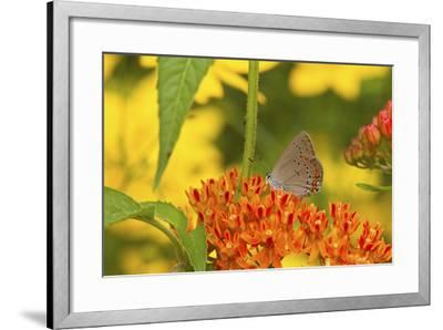 Coral Hairstreak Butterfly on Butterfly Milkweed, Marion Co., Il-Richard ans Susan Day-Framed Photographic Print