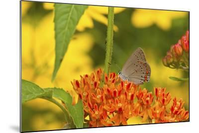 Coral Hairstreak Butterfly on Butterfly Milkweed, Marion Co., Il-Richard ans Susan Day-Mounted Photographic Print
