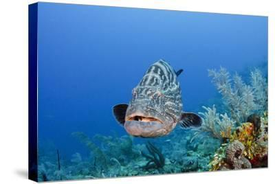 Black Grouper, Jardines De La Reina National Park, Cuba-Pete Oxford-Stretched Canvas Print
