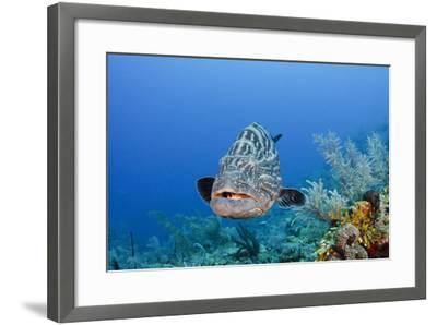 Black Grouper, Jardines De La Reina National Park, Cuba-Pete Oxford-Framed Photographic Print