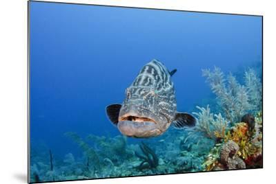 Black Grouper, Jardines De La Reina National Park, Cuba-Pete Oxford-Mounted Photographic Print
