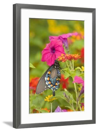 Pipevine Swallowtail on Red Spread Lantana, Marion Co. Il-Richard ans Susan Day-Framed Photographic Print