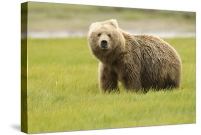 Alaskan, Brown Bear, Ursus Middendorffi, Katmai National Park, Alaska-Howie Garber-Stretched Canvas Print